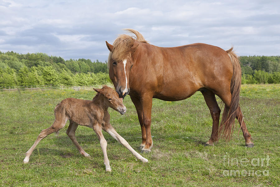 3-chestnut-icelandic-horse-with-newborn-foal-kathleen-smith