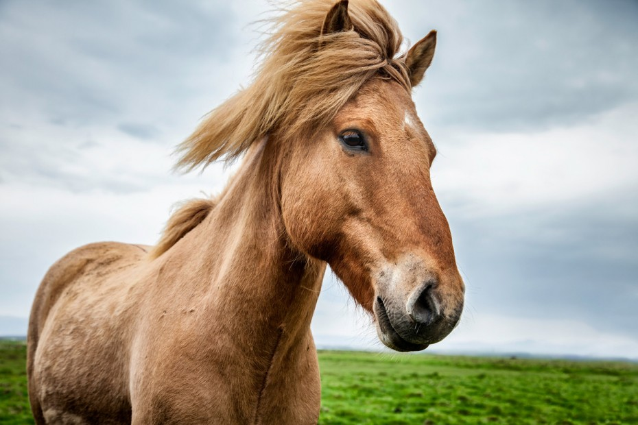 Icelandic horse-X2