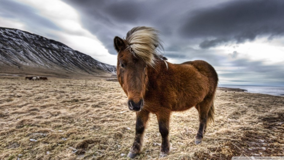 brown-horse-in-iceland_00450882