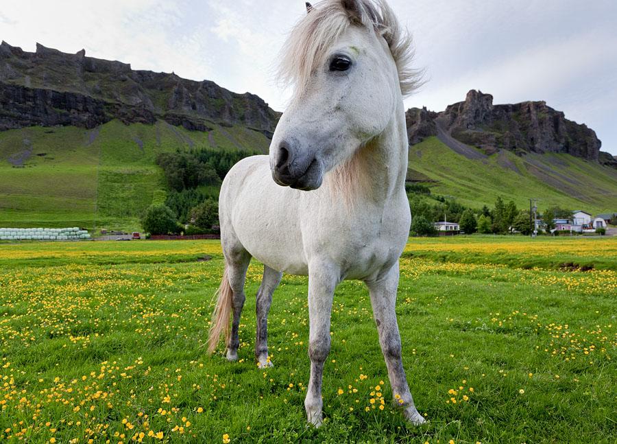 Horses near Klaustur