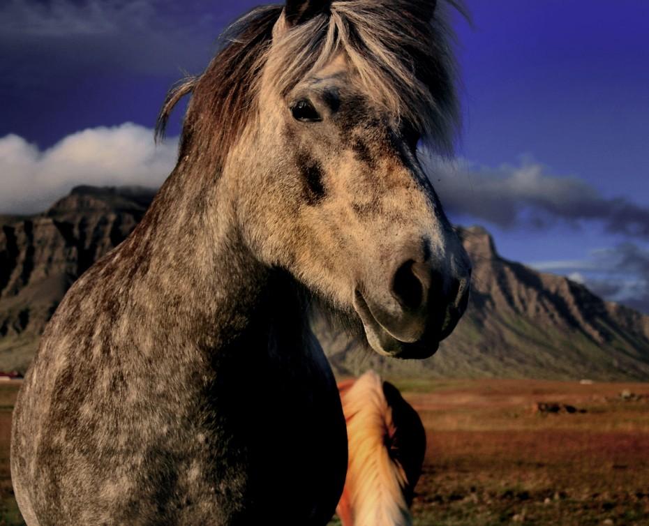 icelandic-horse-iv-img_3381