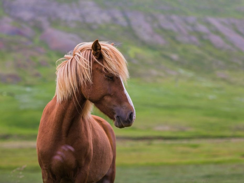 icelandic-horses-are-almost-pony-sized-but-they-live-long-and-hardy-lives-and-contract-few-diseases