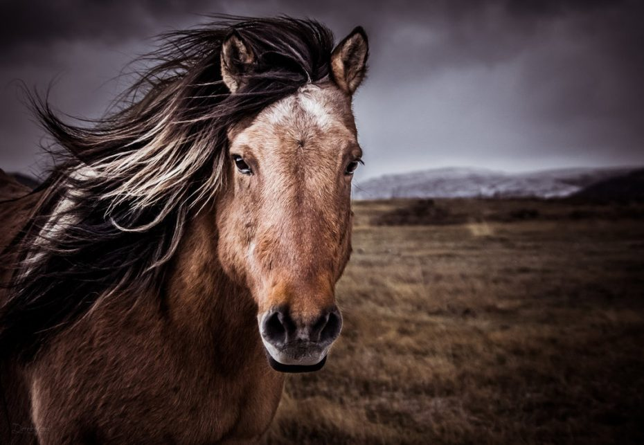 portrait_of_an_icelandic_horse_by_derek_k-d6vevpo