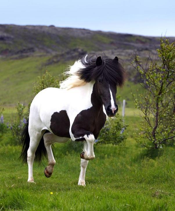 Viking-Horse